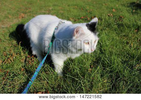 white og black - cat breed Turkish Van Vankedisi or Turkish Angora