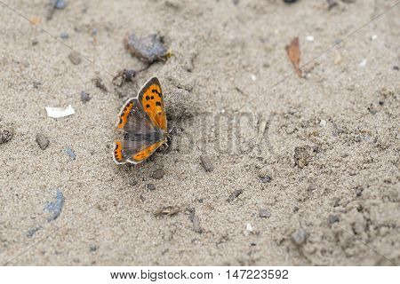 Small Copper (Lycaena phlaeas) butterfly resting on sand on a Dune-Path