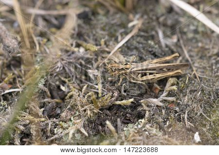 Common Field Grasshopper (Chorthippus brunneus) resting on the ground on Moss
