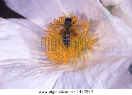 Beeblossom