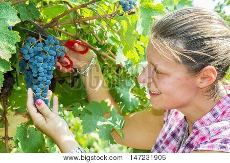 a Woman picking grape during wine harvest