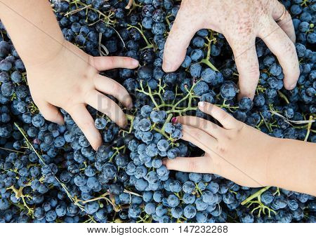 some child hand in the grapes basket