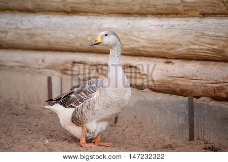 Geese on the farm.. Shooting outdoors Rustic theme