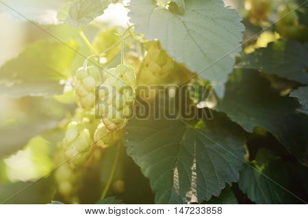 Green Hop Cones in a field. Fresh ingredient for beer production