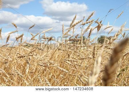 Wheat growing on field - golden heads of grain stiff shine in the wind. Autumn and harvest