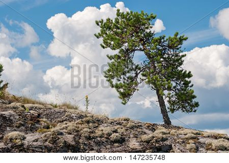 The of the pine on the rocky of the mountain on a background of blue sky with clouds.