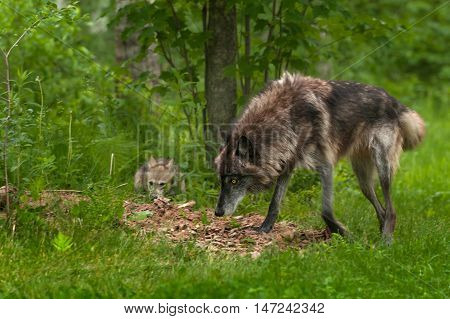 Grey Wolf (Canis lupus) Looks Up from Sniffing - captive animals