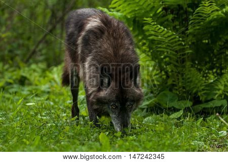 Grey Wolf (Canis lupus) Sniffs in the Grass - captive animal