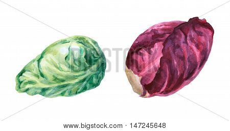 Red and green cabbage head. Hand drawn watercolor painting on white background.