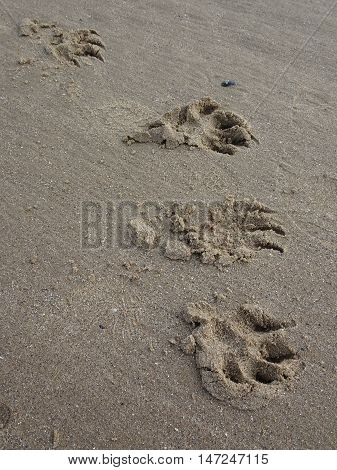 Dog footprint upon beach photographed at Saunderfoot in Pembrokeshire