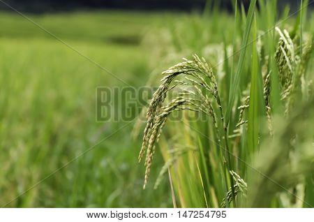 Terraced rice field in rice season in Vietnam
