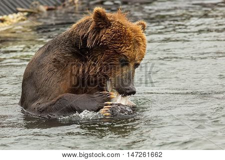 Brown bear eating fish caught in Kurile Lake. Southern Kamchatka Wildlife Refuge in Russia.