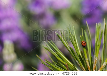 Ladybug crawling down pine needles in front of a field of purple lupine