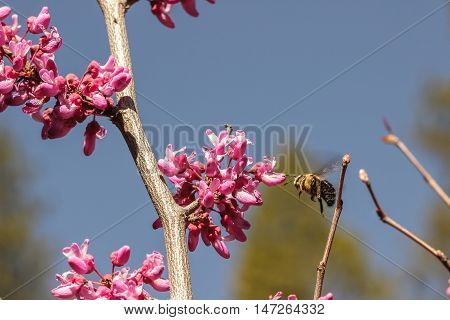 Carpenter bee (Xylocopa) hovering before a western redbud (Cercis occidentalis) flowering tree