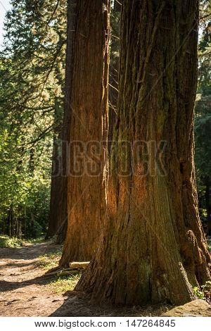 Huge redwood tree in forest with warm sunlight