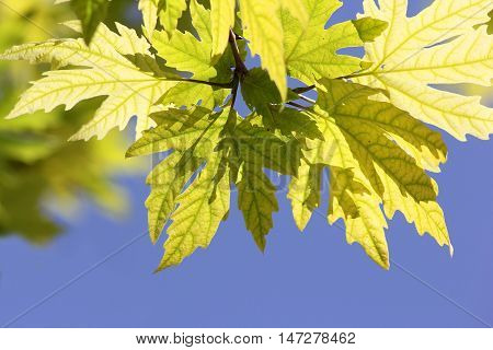 sunlit leaves of sycamore on blue sky background