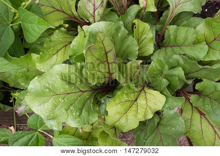 Vibrant early wonder beets dappled with droplets of water growing organically in a raised bed garden