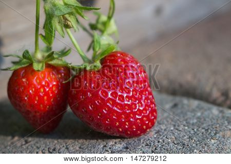 Close up of delicious strawberries ripening organically in the garden hanging over a paver walkway in the morning sun.