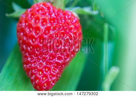 A juicy red strawberry growing organically amidst irisesready to eat.