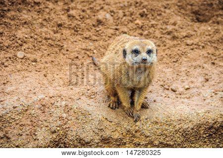 VALENCIA, SPAIN - MARCH 21, 2015: Meerkat in Bioparc an animal-friendly zoo in Valencia Spain