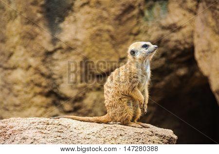 VALENCIA, SPAIN - MARCH 21, 2015: Meerkat in an animal-friendly zoo in Valencia Spain