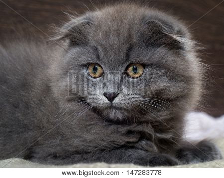 Portrait of a cute kitten. Grey lop-eared cat with huge yellow eyes. Fluffy cat on the background of wooden wall. Animal afraid afraid