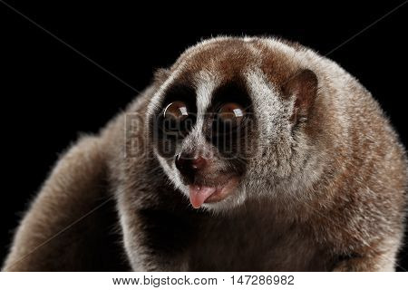 Close-up Face of Cute Lemur Slow Loris Looking up with opened mouth Isolated Black background