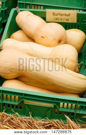 bunch of plump and juicy holiday pumpkins on farm or patch. Different pumpkins for Jack o'lantern or thanksgiving. Butternut squash