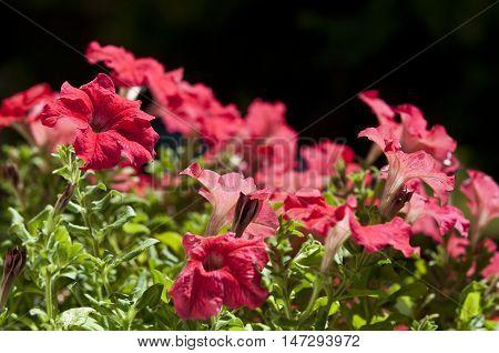 Close up of a flower pot of Petunias
