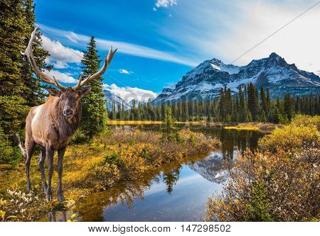 Magnificent red deer with branched antlers grazes in grass at the lake. The beautiful nature in northern Rocky Mountains of Canada