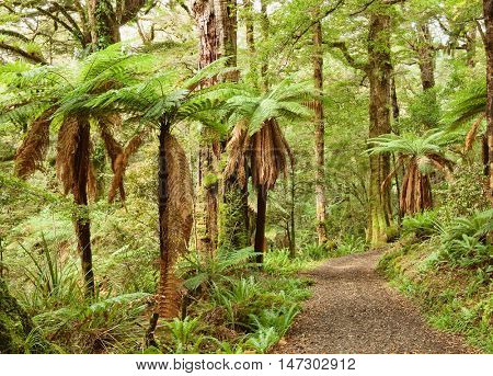 Pathway through temperate rainforest , Te Urewera National Park, North Island, New Zealand