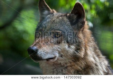 Eurasian wolf (Canis lupus lupus). Wildlife animal.