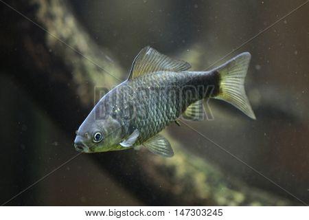 Prussian carp (Carassius gibelio), also known as the silver Prussian carp. Wild life animal.