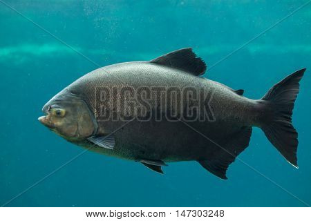 Tambaqui (Colossoma macropomum), also known as the giant pacu. Wildlife animal.