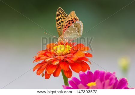 Perlamutrovka Butterfly Closeup On A Flower Collecting Nectar