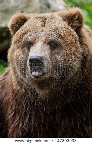 Mainland grizzly (Ursus arctos horribilis). Wildlife animal.