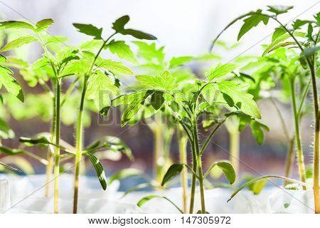 Seedlings Of Tomato Plant In Glasshouse