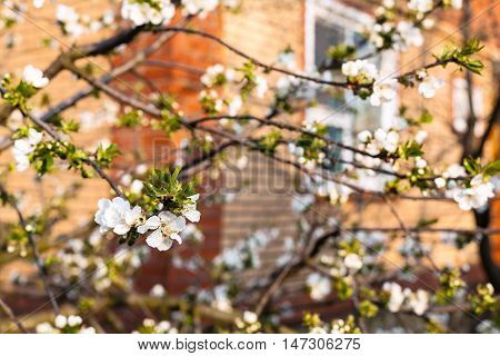 Blossoming Cherry And House In Spring Evening