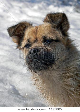Small Dog With Small Beard 1