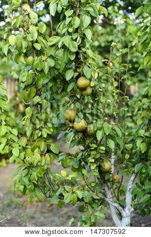 Organic Pear Hanging From Tree. Curved Pear Hanging On A Tree.