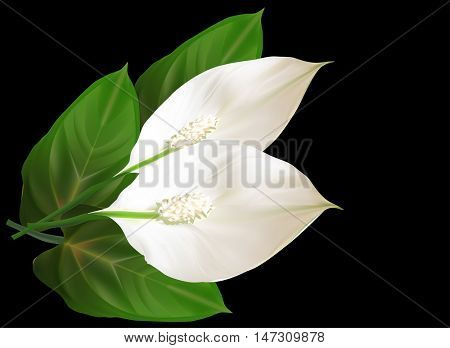 illustration with two spathiphyllum flowers isolated on black background