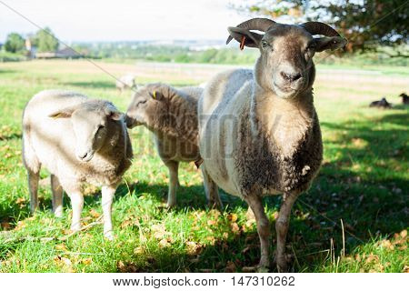 A Sheep with Two Lambs Standing in a Field at Lindholm Høje