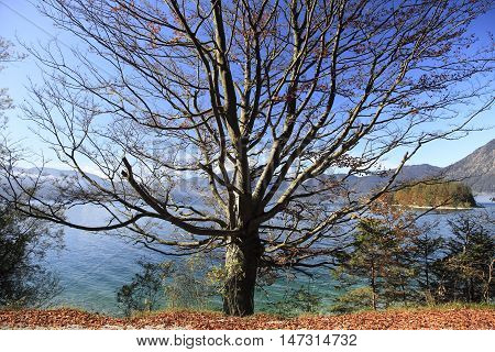 beech tree in autumn with lake in background