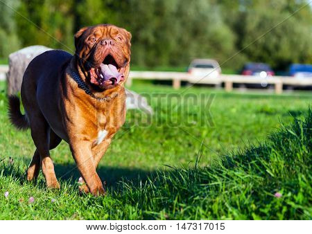 Dogue de Bordeaux or French Mastiff running through the grass in early autumn in September in the park, green grass and trees in the background, open mouth, protruding tongue,  the car in the distance