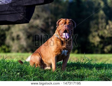 Dogue de Bordeaux or French Mastiff sitting on the grass early in the fall, in September in the park, close up, trees and green grass in the background, purple tone Photo