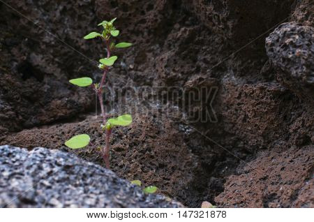 Thirst To The Life.  Sprout Growing On The Volcanic Stones.