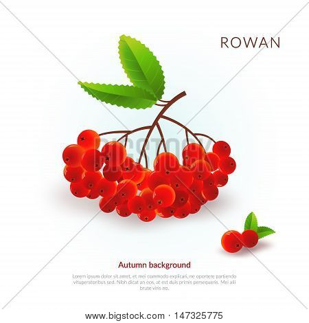 Rowan. Autumn background. Vector illustration with bunch of rowan. Can be used for decoration.