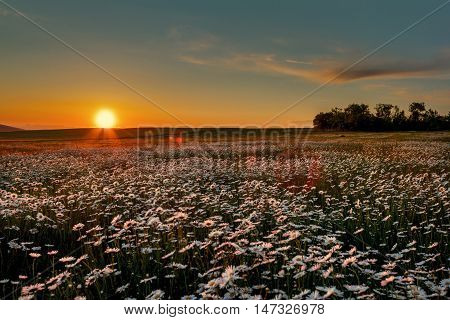 Camomile on a background of a sunset cloudy sky