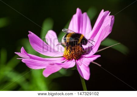 Bumble bee on the flower. Macro photography of nature.