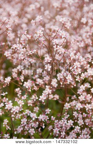 London's Pride or None so Pretty, a pretty delicate little pink flower, Meersbrook Park, Sheffield, UK